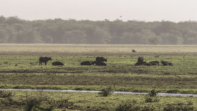 Wild african buffalos. Herd of a wild african buffalos in Tanzania, Africa. The photo was taken in National Park Lake Manyara , Lake Manyara  Conservation Area Royalty Free Stock Photo