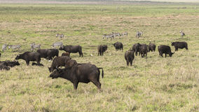 Wild african buffalos. Herd of a wild african buffalos in Tanzania, Africa. The photo was taken in Ngorongoro Crater, Ngorongoro Conservation Area Stock Photography