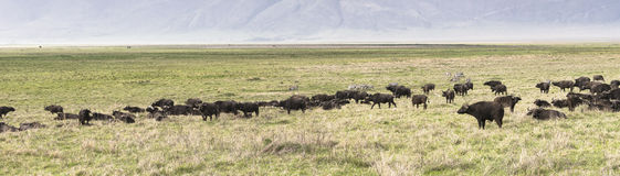 Wild african buffalos. Herd of a wild african buffalos in Tanzania, Africa. The photo was taken in  Ngorongoro Crater, Ngorongoro Conservation Area.Panoramic Stock Images
