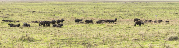 Wild african buffalos. Herd of a wild african buffalos in Tanzania, Africa. The photo was taken in  Ngorongoro Crater, Ngorongoro Conservation Area.Panoramic Stock Image