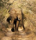 Wild African Bull Elephant Stock Image