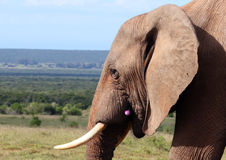 Wild African Bull Elephant with Flower. A wild African bull elephant grazes in the South African Savannah.  He has a flower in his mouth Stock Photo