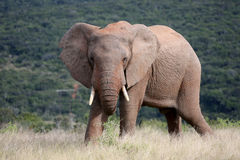 Wild African Bull Elephant. A wild African bull elephant grazes in the South African Savannah Stock Image