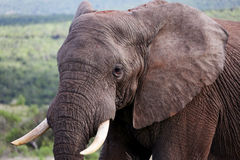 Wild African Bull Elephant Portrait Stock Images