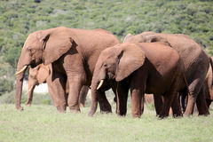 Wild African Bull Elephants. Two wild African elephants graze in the South African Savannah Royalty Free Stock Photos