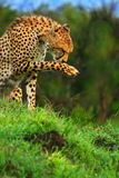Wild african cheetah Stock Photos