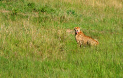 Wild african cheetah Royalty Free Stock Images
