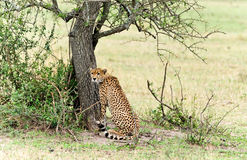 Wild african cheetah Royalty Free Stock Photos