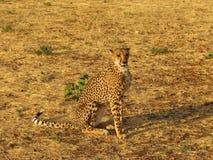 Wild african cheetah Stock Photos