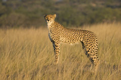 Wild African Cheetah. A view of a wild African Cheetah standing in a wilderness field.  Species: Acinonyx jubatus Stock Photo