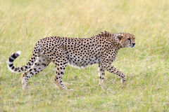 Wild african cheetah. Beautiful mammal animal. Africa, Kenya Royalty Free Stock Images