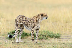 Wild african cheetah. Beautiful mammal animal. Africa, Kenya Stock Photos