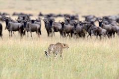 Wild african cheetah. Beautiful mammal animal. Africa, Kenya Stock Images