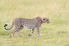 Wild african cheetah. Beautiful mammal animal. Africa, Kenya Stock Photo