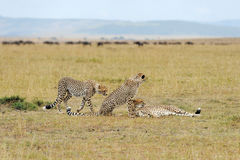 Wild african cheetah. Beautiful mammal animal. Africa, Kenya Royalty Free Stock Photos