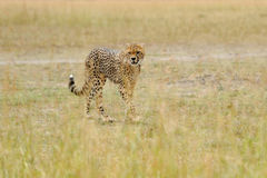 Wild african cheetah. Beautiful mammal animal. Africa, Kenya Royalty Free Stock Image