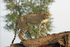 Wild african cheetah. Close up on tree Royalty Free Stock Photography