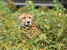 Wild african cheetah hiding with prey in the bushes. Serengeti Natural Park Stock Photo