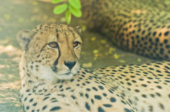Wild african cheetah hiding in shade of a tree. On a hot summer day Stock Photos