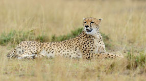Wild african cheetah. In National park of Kenya, Africa Royalty Free Stock Photography