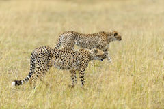 Wild african cheetah. In National park of Kenya, Africa Stock Photo