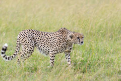 Wild african cheetah. In National park of Kenya, Africa Royalty Free Stock Image