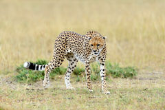 Wild african cheetah. In National park of Kenya, Africa Stock Photos