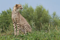 Wild african cheetah portrait, beautiful mammal animal. Endangered carnivore Stock Image