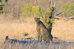 Wild african cheetah. Sitting observing scenary in shade of a tree stump Stock Photography