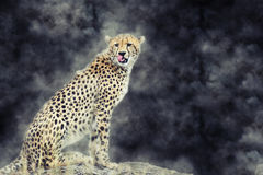 Wild african cheetah in smoke. On dark background Stock Images