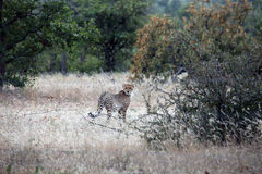 Wild African Cheetah in their natural environment. Botswana,. Africa Stock Photography