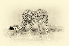 Wild african cheetah. Vintage effect. Wild african cheetah in National park of Kenya, Africa. Vintage effect Royalty Free Stock Images