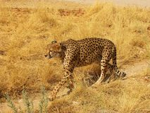 A wild african cheetah walking. Otjitotongwe, Namibia Stock Photos
