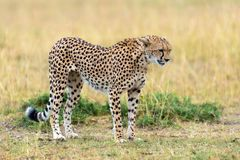 Wild african cheetah. Beautiful mammal animal. Africa, Kenya Stock Photography