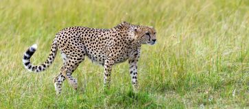 Wild african cheetah. Beautiful mammal animal. Africa, Kenya Royalty Free Stock Photo