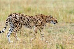 Wild african cheetah. Beautiful mammal animal. Africa, Kenya Stock Image
