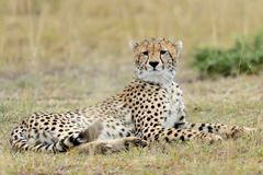 Wild african cheetah. Beautiful mammal animal. Africa, Kenya Royalty Free Stock Photography