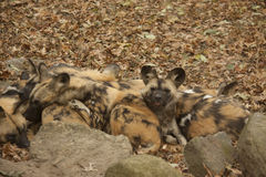 Wild African Dogs Royalty Free Stock Photography