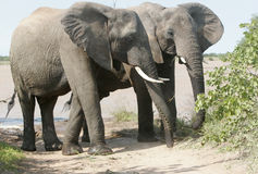 Wild african elephant Stock Photography