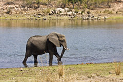 Wild african elephant crossing the river, kruger, ZA Stock Image