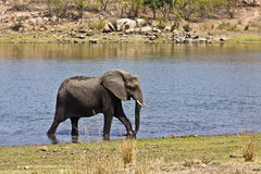 Wild african elephant crossing the river, kruger, ZA Stock Images