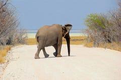 Wild African elephant crossing road, Etosha park, Namibia Royalty Free Stock Image