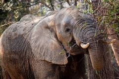 Wild African Elephant Eating Shrubs and Leaves royalty free stock photo