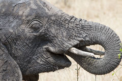 Wild African elephant eating Stock Images