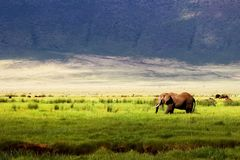 Wild african elephant in green grass in the Ngorongoro Conservation Area on the background of mountains.  Stock Photos
