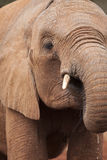 Wild african elephant Royalty Free Stock Photos