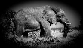 Wild african elephant in Namiba bush in Etosha park. Wild africa animal on the Namiba savanna bush african Big elephant captured in wilderness, photo in black royalty free stock photo