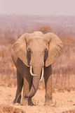 Wild African Elephant stock photography