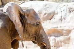 Wild African Elephant Portrait Stock Image
