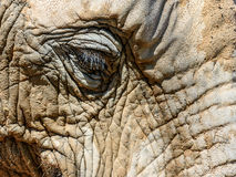 Wild African Elephant Portrait Stock Photography